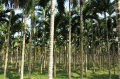 槟榔产业化大发展促进其投资属性产生